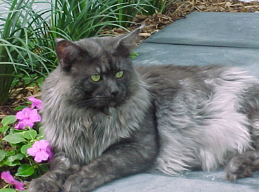Maine Coon Ancestors - An archive of Maine Coon breeding
